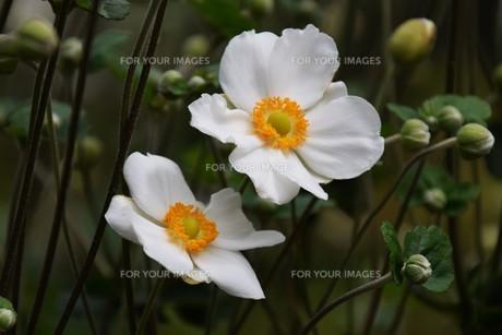 シュウメイギク(秋明菊)・ 秋の陽ざしに優雅な佇まい…の写真素材 [FYI01202186]