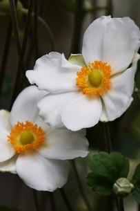 シュウメイギク(秋明菊)・ 秋の陽ざしに優雅な佇まい…の写真素材 [FYI01202187]