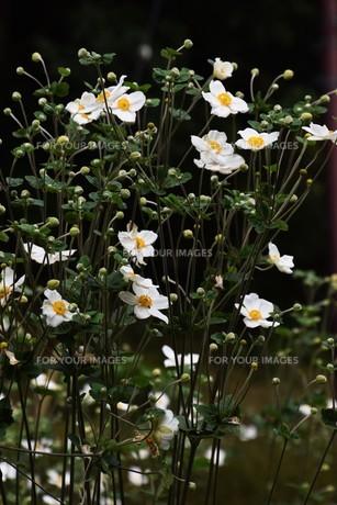 シュウメイギク(秋明菊)・ 秋の陽ざしに優雅な佇まい…の写真素材 [FYI01202188]