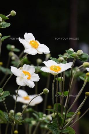 シュウメイギク(秋明菊)・ 秋の陽ざしに優雅な佇まい…の写真素材 [FYI01202189]