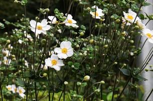 シュウメイギク(秋明菊)・ 秋の陽ざしに優雅な佇まい…の写真素材 [FYI01202190]