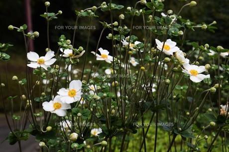 シュウメイギク(秋明菊)・ 秋の陽ざしに優雅な佇まい…の写真素材 [FYI01202192]