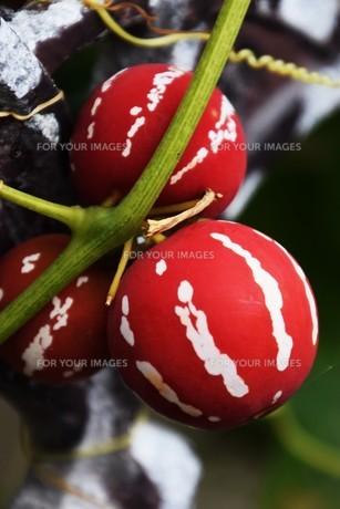 オキナワスズメウリ ・ 緑のカーテン  果実は美しいが有毒の写真素材 [FYI01202245]