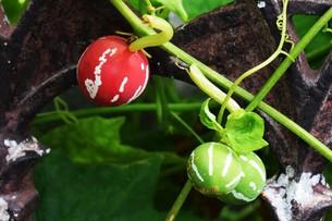 オキナワスズメウリ ・ 緑のカーテン  果実は美しいが有毒の写真素材 [FYI01202246]