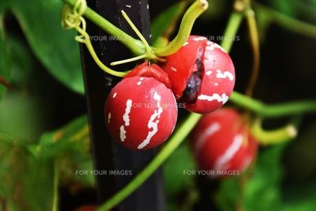 オキナワスズメウリ ・ 緑のカーテン  果実は美しいが有毒の写真素材 [FYI01202247]