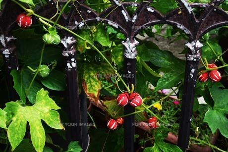 オキナワスズメウリ ・ 緑のカーテン  果実は美しいが有毒の写真素材 [FYI01202248]
