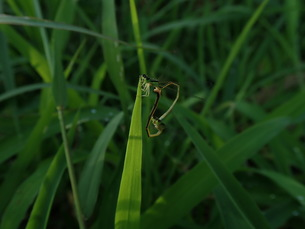 アオモンイトトンボの交尾の写真素材 [FYI01202252]
