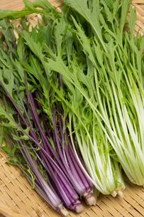 水菜の写真素材 [FYI01202499]