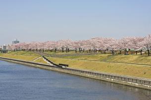 桜並木 川岸の写真素材 [FYI01202558]