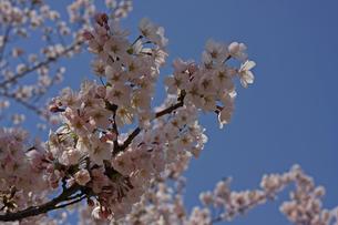 桜の写真素材 [FYI01202560]