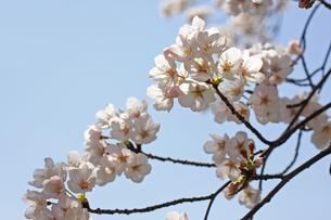 桜の写真素材 [FYI01202565]