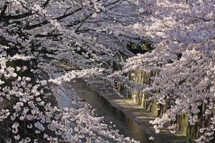 桜 川岸の写真素材 [FYI01202567]