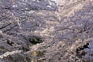桜 川岸の写真素材 [FYI01202569]