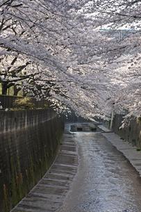 桜 川岸の写真素材 [FYI01202570]
