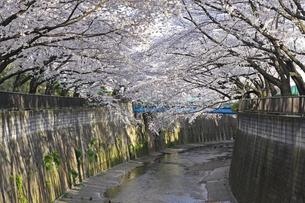 桜 川岸の写真素材 [FYI01202572]
