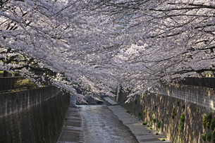 桜 川岸の写真素材 [FYI01202573]