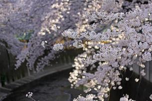 桜 川岸の写真素材 [FYI01202574]