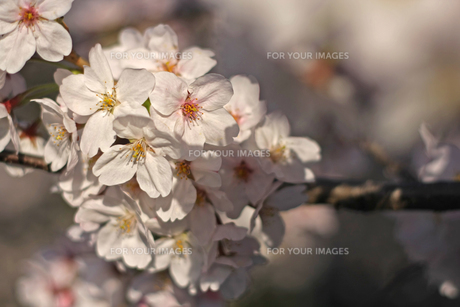 桜の写真素材 [FYI01202575]