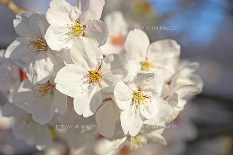 桜の写真素材 [FYI01202577]