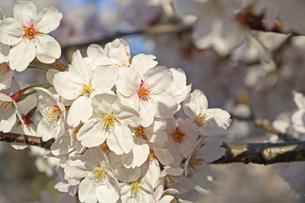 桜の写真素材 [FYI01202578]