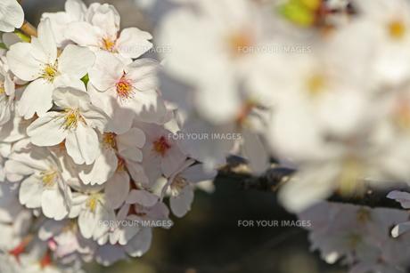 桜の写真素材 [FYI01202579]
