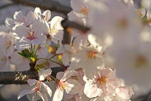桜の写真素材 [FYI01202580]