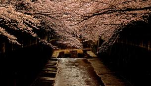 桜 満開 川岸 夕暮れの写真素材 [FYI01202599]