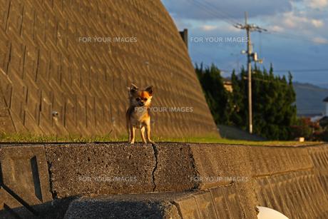 犬 チワワ 仁王立ちの写真素材 [FYI01202616]