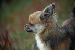 犬 チワワ 横向きの写真素材 [FYI01202639]