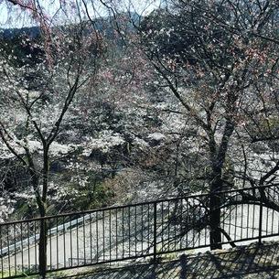 桜の写真素材 [FYI01202691]