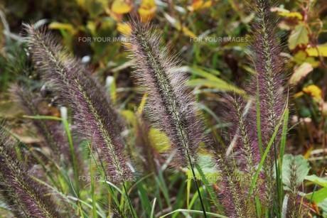 チカラシバ(力芝)・ 雑草もレンズを通すと美しい…の写真素材 [FYI01202707]