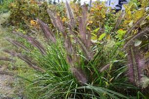 チカラシバ(力芝)・ 雑草もレンズを通すと美しい…の写真素材 [FYI01202709]