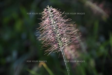 チカラシバ(力芝)・ 雑草もレンズを通すと美しい…の写真素材 [FYI01202713]