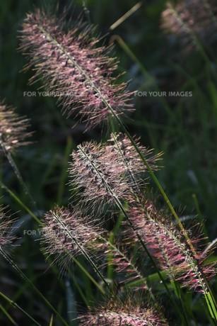 チカラシバ(力芝)・ 雑草もレンズを通すと美しい…の写真素材 [FYI01202714]