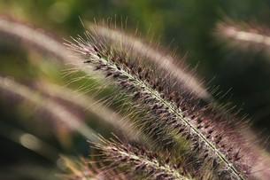 チカラシバ(力芝)・ 雑草もレンズを通すと美しい…の写真素材 [FYI01202715]