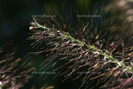 チカラシバ(力芝)・ 雑草もレンズを通すと美しい…の写真素材 [FYI01202716]