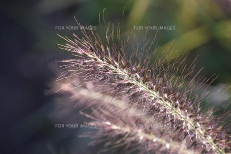 チカラシバ(力芝)・ 雑草もレンズを通すと美しい…の写真素材 [FYI01202717]