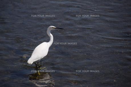 シラサギ(コサギ)・ 黒いクチバシ 黄色い足指 夏羽は頭に長い冠羽の写真素材 [FYI01202723]