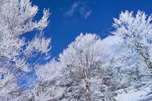 蔵王の霧氷の写真素材 [FYI01203117]