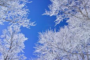 蔵王の霧氷の写真素材 [FYI01203138]
