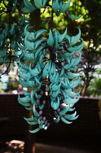 ヒスイカズラ(ジェードバイン) 翡翠葛 ・ 息をのむ美しさ エメラルドグリーンのトロピカルフラワーの写真素材 [FYI01203156]