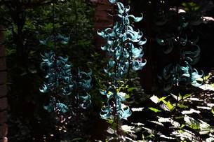 ヒスイカズラ(ジェードバイン) 翡翠葛 ・ 息をのむ美しさ エメラルドグリーンのトロピカルフラワーの写真素材 [FYI01203157]