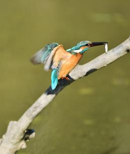 魚を咥えて枝に戻るカワセミの写真素材 [FYI01203252]