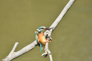 魚を咥えて枝に戻るカワセミの写真素材 [FYI01203253]