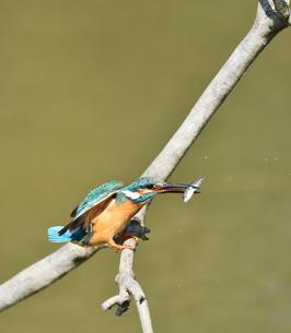 魚を咥えて枝に戻るカワセミの写真素材 [FYI01203254]