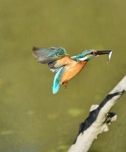 魚を咥えて枝に戻るカワセミの写真素材 [FYI01203255]