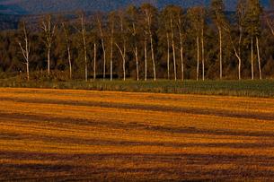 夕暮れの収穫が終わった畑とシラカバ並木の写真素材 [FYI01203309]
