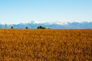 秋の大豆畑と冠雪の山並み 十勝岳連峰の写真素材 [FYI01203328]