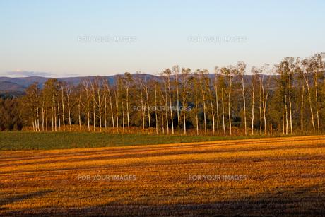 夕暮れの収穫が終わった畑とシラカバ並木の写真素材 [FYI01203332]