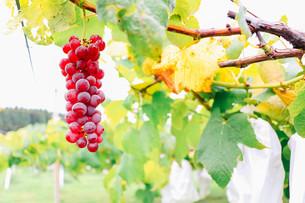 みずみずしいブドウの写真素材 [FYI01203336]